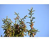 Branch, Spruce cones