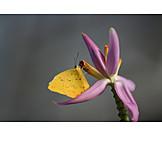 Sulfur butterfly