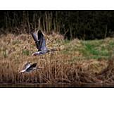 Flying, Greylag goose