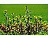 Knotweed, Japanese knotweed, Fallopia