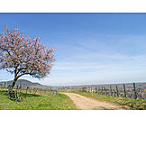 Landscape, Spring, Almond Tree