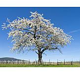 Tree, Cherry Tree, Spring, Fruit Tree