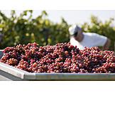 Harvest, Vintage, Winemaking, Vintner