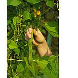 Harvest, Bean, Bean Harvest