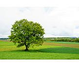 Tree, Oak tree, Tree