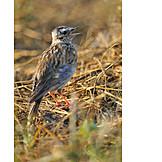 Mockingbird, Field lark