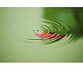 Water surface, Goldfish