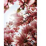 Magnolia Tree, Magnolia Flower, Magnolia, Summer
