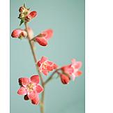 Flowering, Heuchera