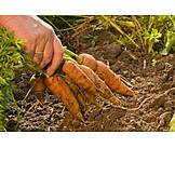 Harvest, Gardening, Carrot