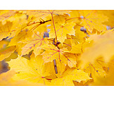 Autumn, Autumn Leaves, Maple Leaf, Maple Tree