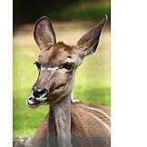 Antelope, Nyala