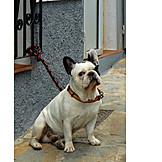 Dog, French bulldog