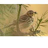 Bird, Feeding, Tree pipit, Pieper