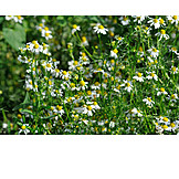 Chamomile, Chamomile flower