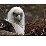 Vulture, Griffon vulture, Old world vultures