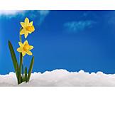Spring, Easter Daffodil