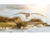 Flying, Seagull, Gliding