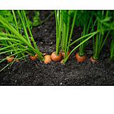 Vegetable, Carrots, Harvest, Seedbed, Flower Bed