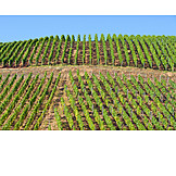 Vineyard, Vines
