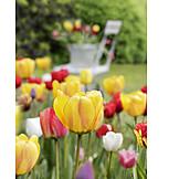 Garden, Tulip