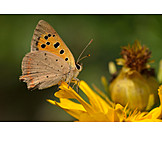 Butterfly, Copper butterfly