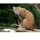 Lynx, Eurasian lynx