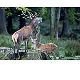 Deer, Red deer, Rutting