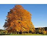 Autumn, Beech Tree