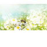 Bee, Flower meadow, Daisy