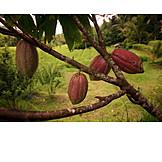 Cocoa fruit, Cocoa tree