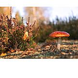 Fly agaric, Toadstool