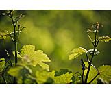 Wine, Grape leaf, Vines