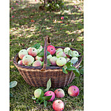 Apple harvest, Streuobst meadow, Organic fruits