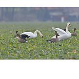 Field, Swans