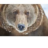 Brown bear, Winter pelt