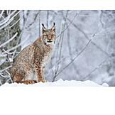 Wildlife park, Lynx, Northern lynx