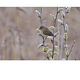 Pussy willow, Common chiffchaff