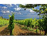 Winemaking, Vines, Balatoncsicso