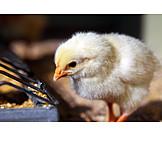 Chicks, Baby chicken