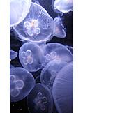 Jellyfish, Moon jellyfish