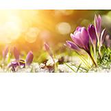 Spring flower, Crocus
