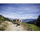 Cow herd, Alps