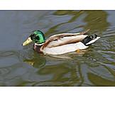 Mallard duck, Drake