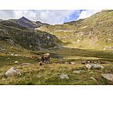 Mountain lake, South tyrol, Cattle