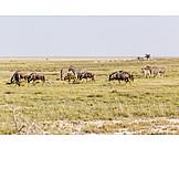 Plains zebra, Blue wildebeest