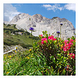 Rhododendron, Karwendel mountains