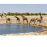 Water body, Giraffe, Etosha national park
