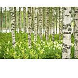Birch tree, Birch forest