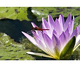 Water lily, Scarlet dragonfly
